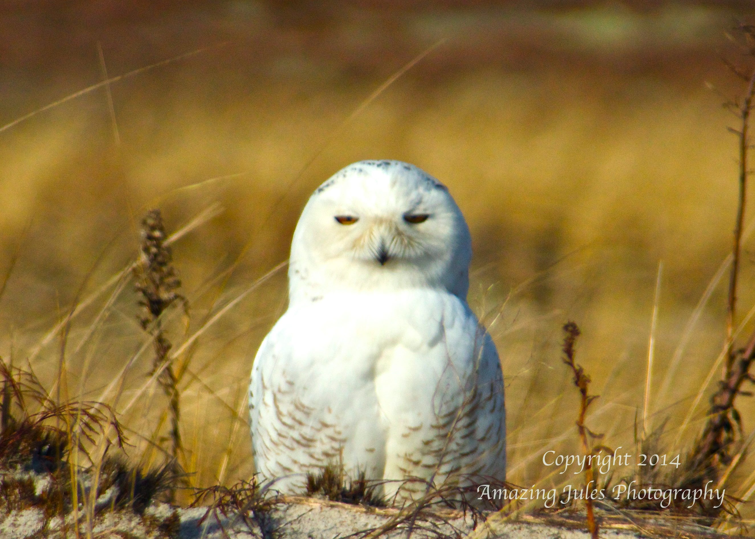 Snowy White Owl in Beach Grass