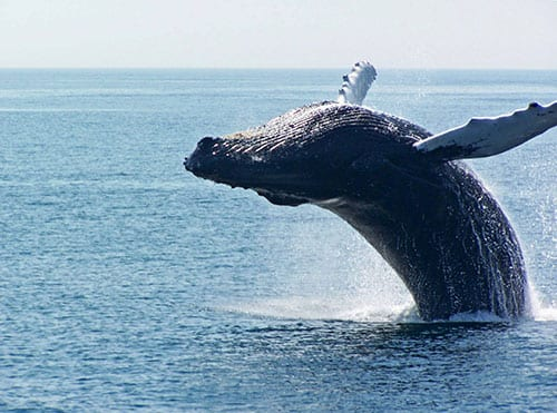 Small-Shearwater_Excursions_Nantucket_Jumping_Whale