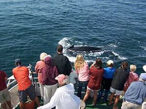 Small-Shearwater_Excursions_Nantucket_Whale_Watch